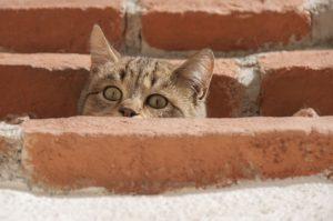 getreifte Katze läuft frei herum